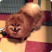 Pomeranian Dog for adoption in Tavares, Florida - Lady