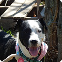 Border Collie Mix Dog for adoption in Joliet, Illinois - Sissy