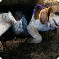 Beagle Dog for adoption in Kinston, North Carolina - Bella