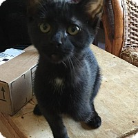 Domestic Shorthair Kitten for adoption in Melbourne, Florida - Xena
