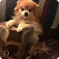 Pomeranian Dog for adoption in Irvine, California - Lola Bear