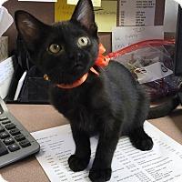 Bombay Kitten for adoption in Lake Elsinore, California - Sally