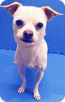 Chihuahua Mix Dog for adoption in Plainfield, Illinois - ADOPTED!!!   Lloyd