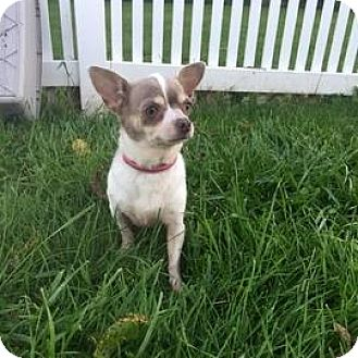 Chihuahua Mix Dog for adoption in Janesville, Wisconsin - Mora