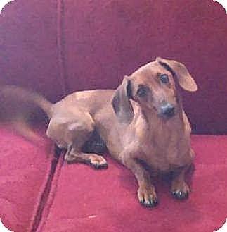 Dachshund Mix Dog for adoption in Washington, D.C. - Franky