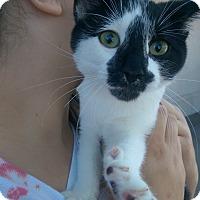 Adopt A Pet :: Cobweb - Ogden, UT