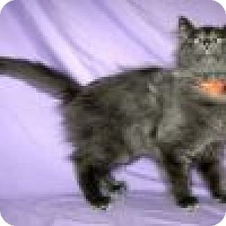 Domestic Longhair Cat for adoption in Powell, Ohio - Pewter
