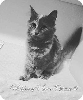 Domestic Longhair Kitten for adoption in Lexington, Kentucky - Luna