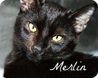 Bombay Cat for adoption in McKinney, Texas - Merlin