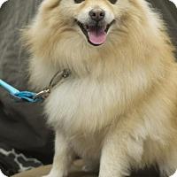 Adopt A Pet :: Canello - Corona, CA