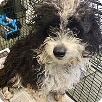Adopt A Pet :: MISTY - San Antonio, TX