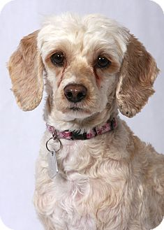 Molly Adopted Dog Kalamazoo Mi Cocker Spaniel Poodle Miniature Mix