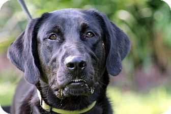 Labrador Retriever Dog for adoption in Plainfield, Connecticut - Libby
