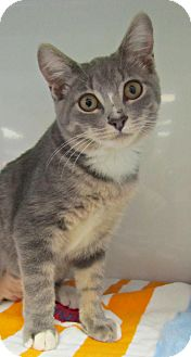 Domestic Shorthair Kitten for adoption in Seminole, Florida - Crash