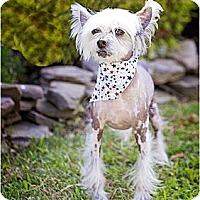 Adopt A Pet :: Mitch-NJ - Mays Landing, NJ