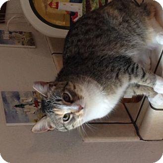 Calico Cat for adoption in Walnut Creek, California - Carly