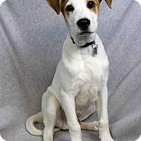 Adopt A Pet :: Pepe - Westminster, CO