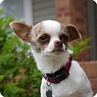 Adopt A Pet :: Peanut - Denver, CO