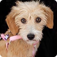Adopt A Pet :: Camila - Thousand Oaks, CA
