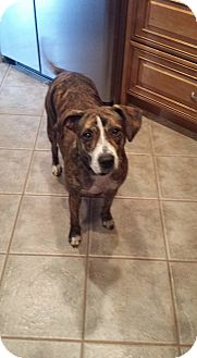 Mountain Cur/Catahoula Leopard Dog Mix Dog for adoption in Sarasota, Florida - Betty