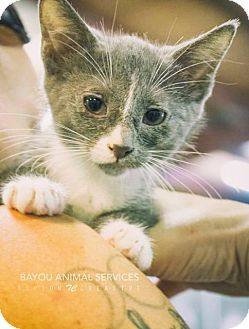 Domestic Shorthair Cat for adoption in Dickinson, Texas - Gail