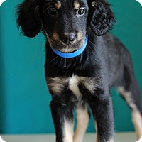 Adopt A Pet :: Bert - Waldorf, MD
