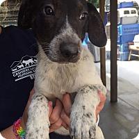 Adopt A Pet :: Owen - Cashiers, NC