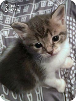 Domestic Mediumhair Kitten for adoption in Conroe, Texas - Zander
