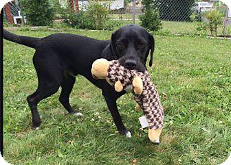 Labrador Retriever Mix Dog for adoption in Alexandria, Virginia - Blaze