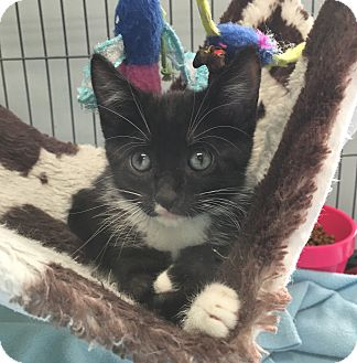 Domestic Shorthair Kitten for adoption in Wayne, New Jersey - Demi