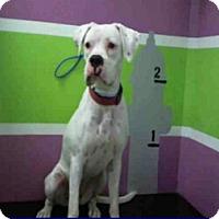 Adopt A Pet :: Snowberry - Austin, TX