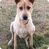 Terrier (Unknown Type, Medium) Mix Dog for adoption in Arlington, Texas - Bocca