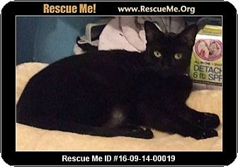 Domestic Shorthair Cat for adoption in Waldorf, Maryland - Jinn