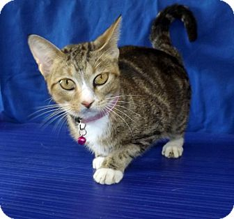 Domestic Shorthair Cat for adoption in LAFAYETTE, Louisiana - MARGO