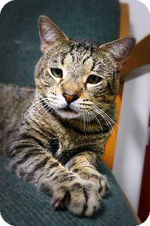 Domestic Shorthair Cat for adoption in Casa Grande, Arizona - Strudel