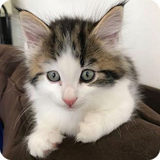 Domestic Longhair Kitten for adoption in San Francisco, California - Felix (pending)