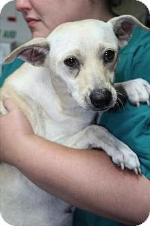 Chihuahua Mix Dog for adoption in Woodstock, Illinois - ANGEL
