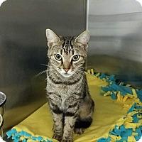 Domestic Shorthair Cat for adoption in Elyria, Ohio - Peg