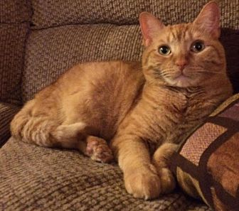 Domestic Shorthair Cat for adoption in New York, New York - Fabulous Fae