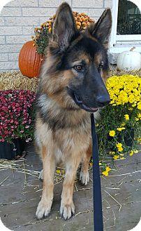 German Shepherd Dog Dog for adoption in Oakland, Michigan - King