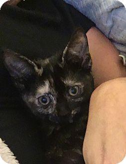 Domestic Shorthair Kitten for adoption in Virginia Beach, Virginia - Lucy Lou