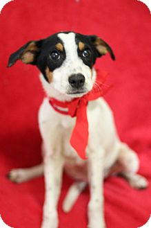 Terrier (Unknown Type, Small)/Australian Cattle Dog Mix Puppy for adoption in Dalton, Georgia - Caz
