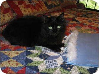 Siberian Cat for adoption in Fairhope, Alabama - Mary Jane