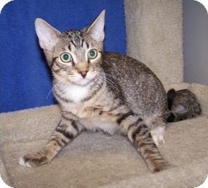 Domestic Shorthair Cat for adoption in Colorado Springs, Colorado - K-Lori2-Yang