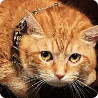 Domestic Shorthair Cat for adoption in Kerrville, Texas - Morris