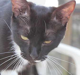 Domestic Shorthair Cat for adoption in Bonita Springs, Florida - Francis