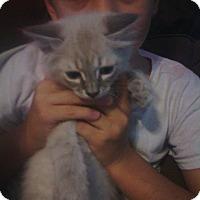 Adopt A Pet :: Chapparel Ragdoll/siamese - McDonough, GA