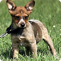 Adopt A Pet :: Evie - Brattleboro, VT