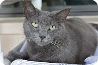 American Shorthair Cat for adoption in Ruskin, Florida - Mona