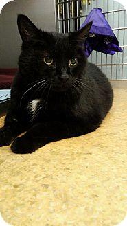 Domestic Shorthair Cat for adoption in Lenhartsville, Pennsylvania - Rowan